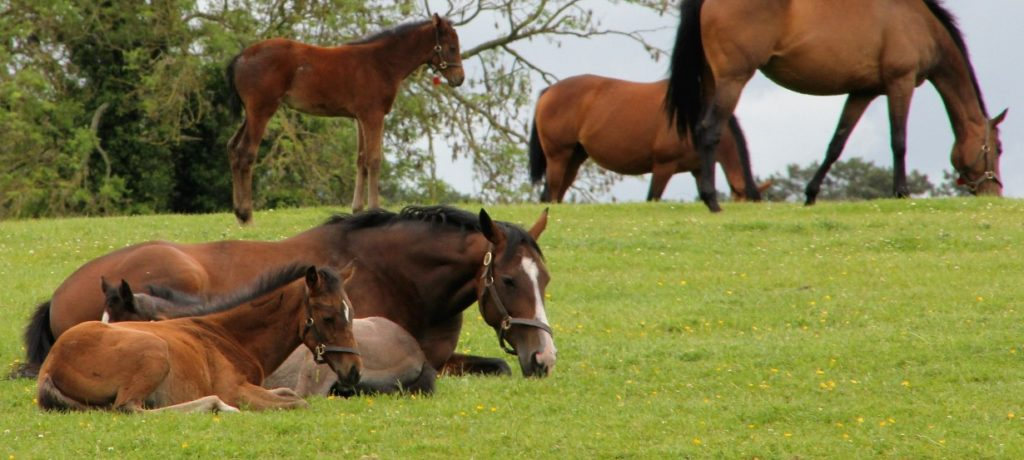 Mares & Foals in the Irish National Stud
