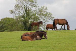 Thoroughbred Horses relaxing @ The Irish National Stud
